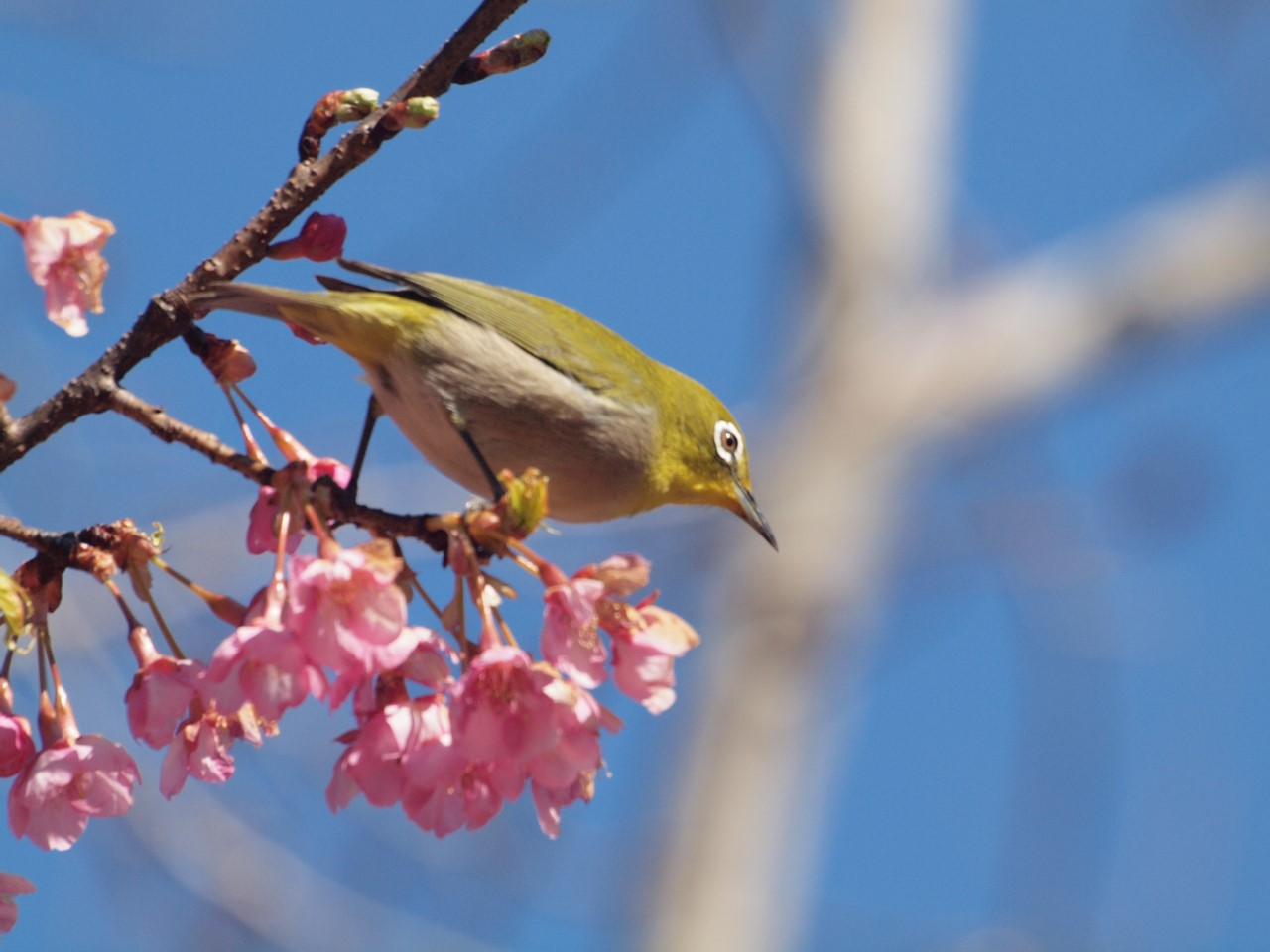 『再び河津桜とメジロを・・・・・』_d0054276_1957633.jpg