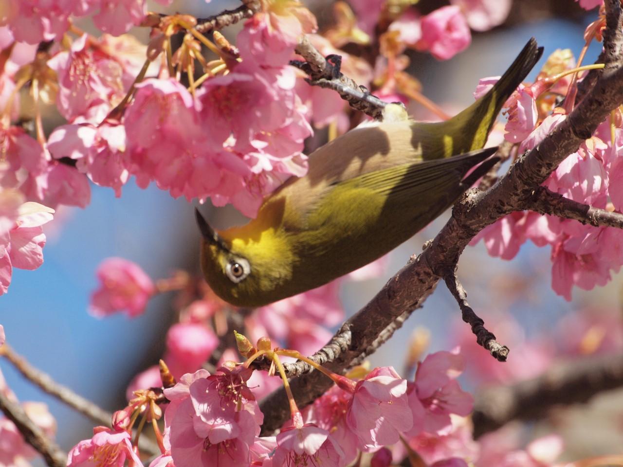 『再び河津桜とメジロを・・・・・』_d0054276_19582121.jpg
