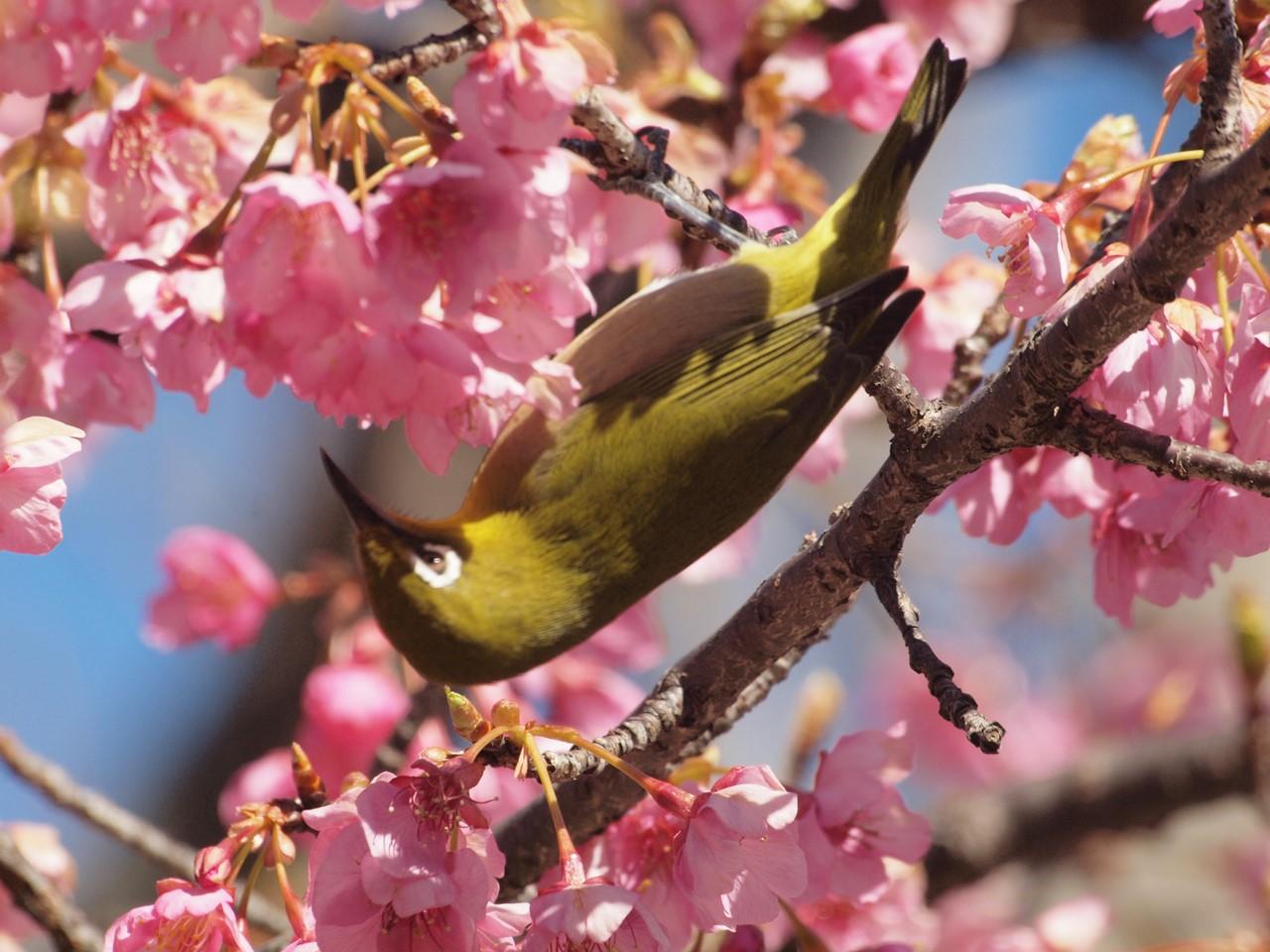 『再び河津桜とメジロを・・・・・』_d0054276_19583422.jpg