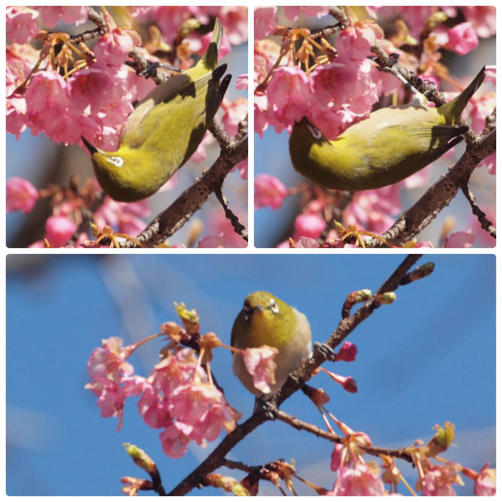 『再び河津桜とメジロを・・・・・』_d0054276_19584758.jpg