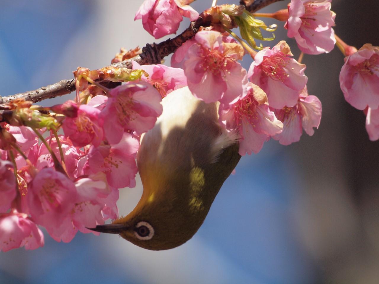 『再び河津桜とメジロを・・・・・』_d0054276_19585952.jpg