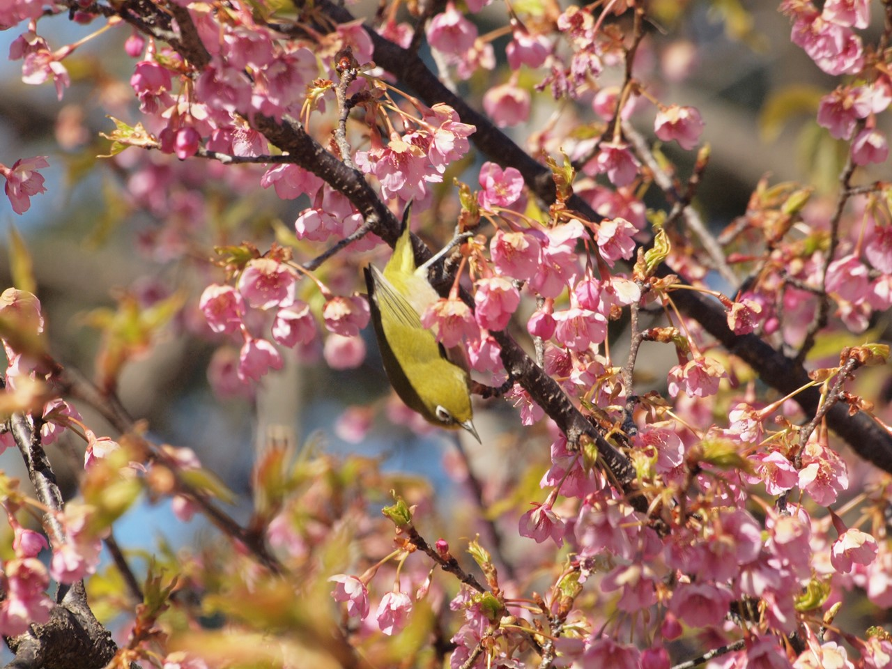 『再び河津桜とメジロを・・・・・』_d0054276_1958935.jpg