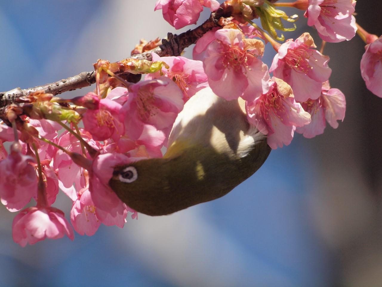 『再び河津桜とメジロを・・・・・』_d0054276_19591210.jpg