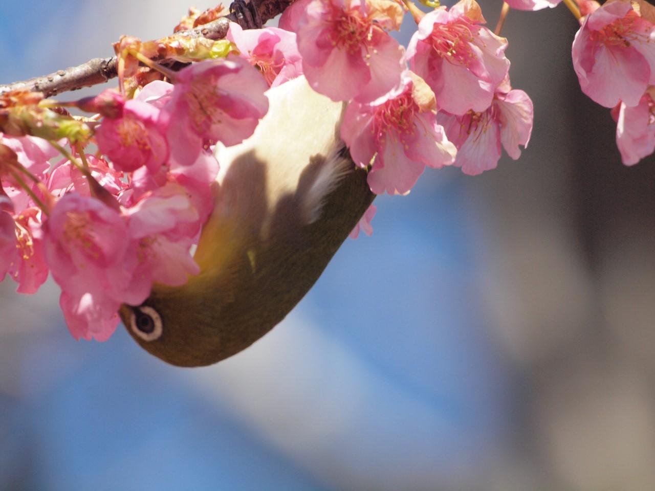 『再び河津桜とメジロを・・・・・』_d0054276_19592427.jpg