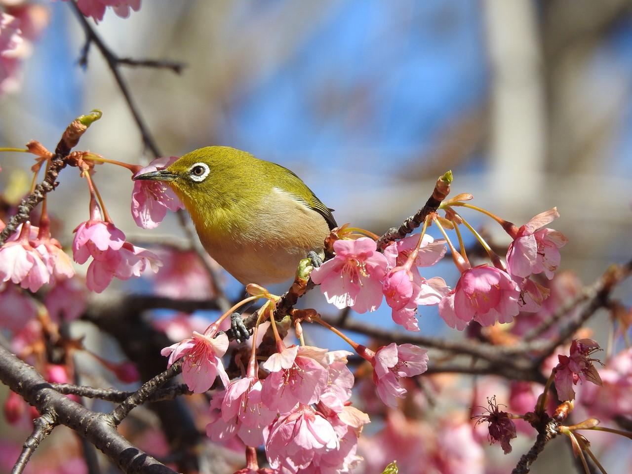 『再び河津桜とメジロを・・・・・』_d0054276_19593561.jpg