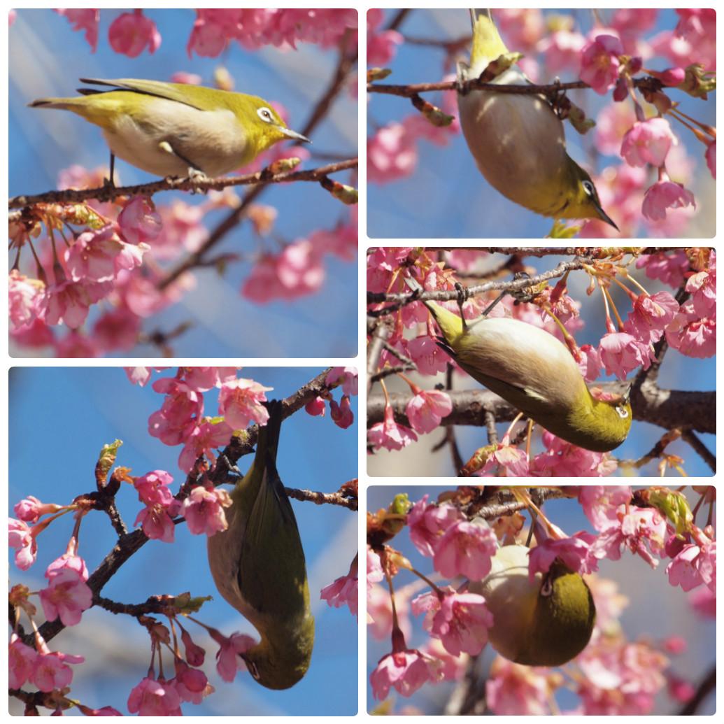 『再び河津桜とメジロを・・・・・』_d0054276_19594774.jpg