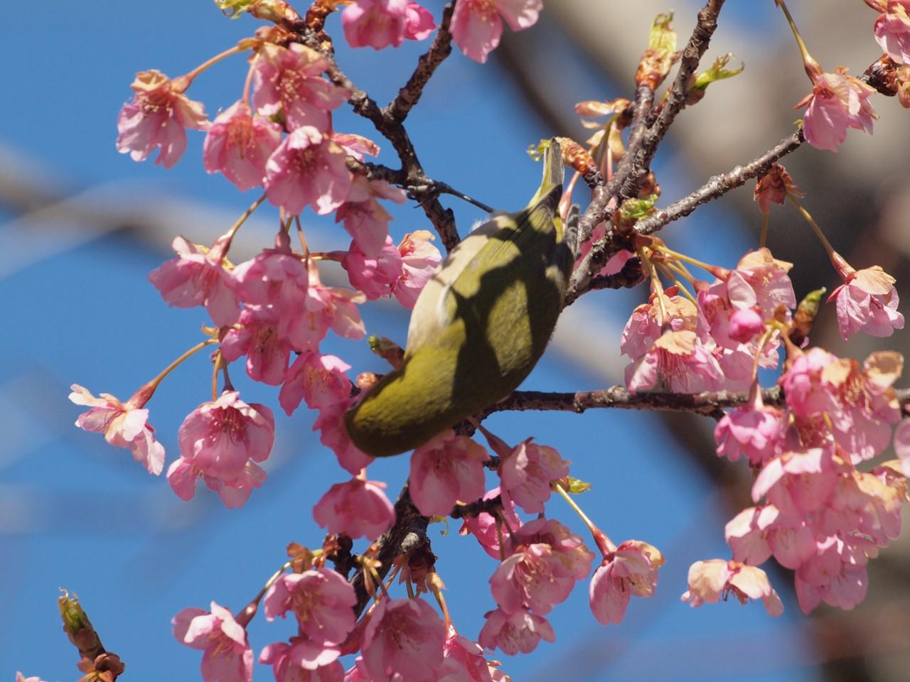『再び河津桜とメジロを・・・・・』_d0054276_200026.jpg