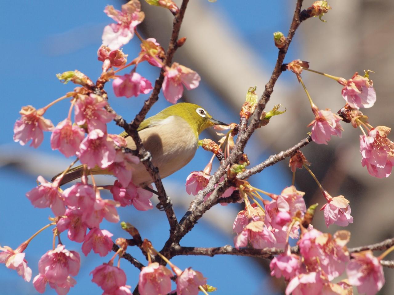 『再び河津桜とメジロを・・・・・』_d0054276_2001148.jpg