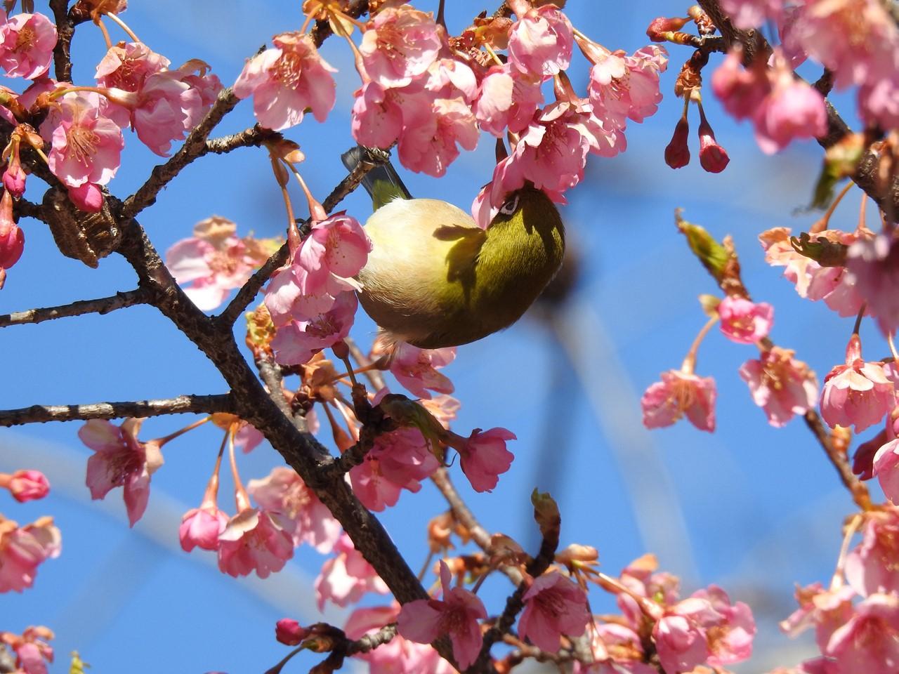 『再び河津桜とメジロを・・・・・』_d0054276_2002565.jpg