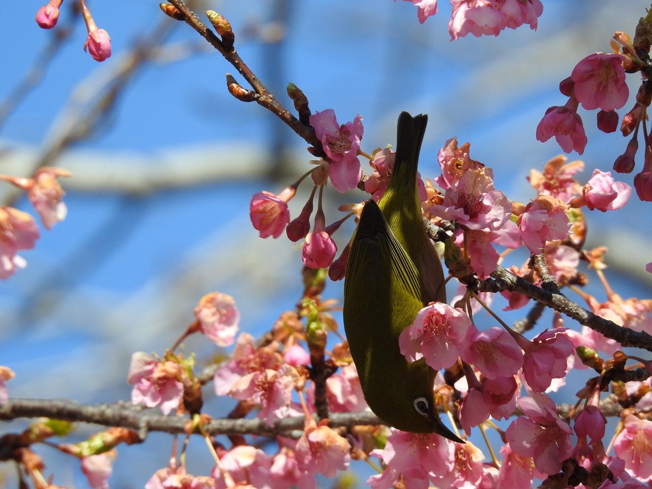 『再び河津桜とメジロを・・・・・』_d0054276_2003744.jpg