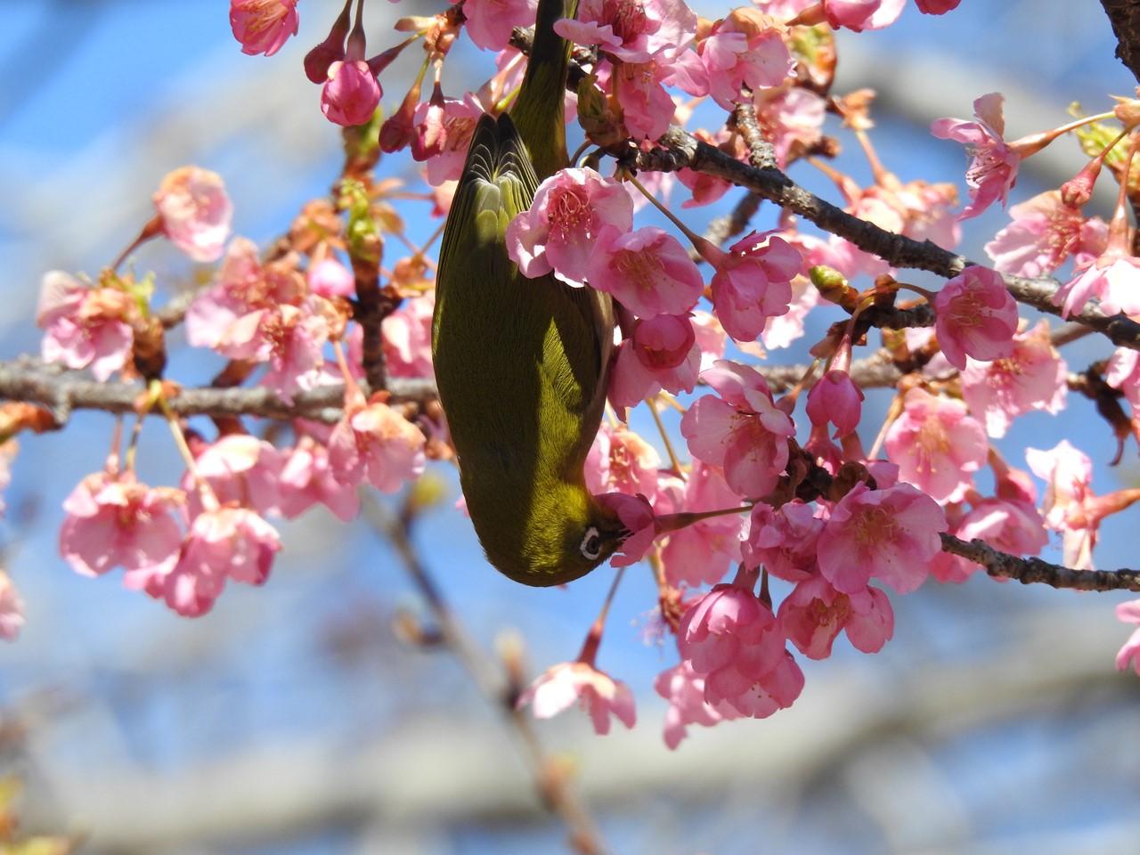 『再び河津桜とメジロを・・・・・』_d0054276_2005098.jpg
