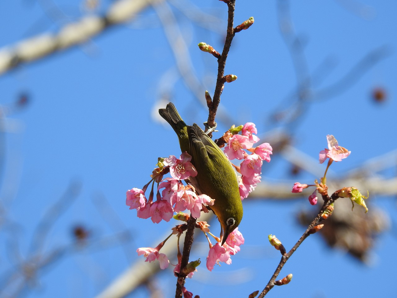 『再び河津桜とメジロを・・・・・』_d0054276_2013163.jpg
