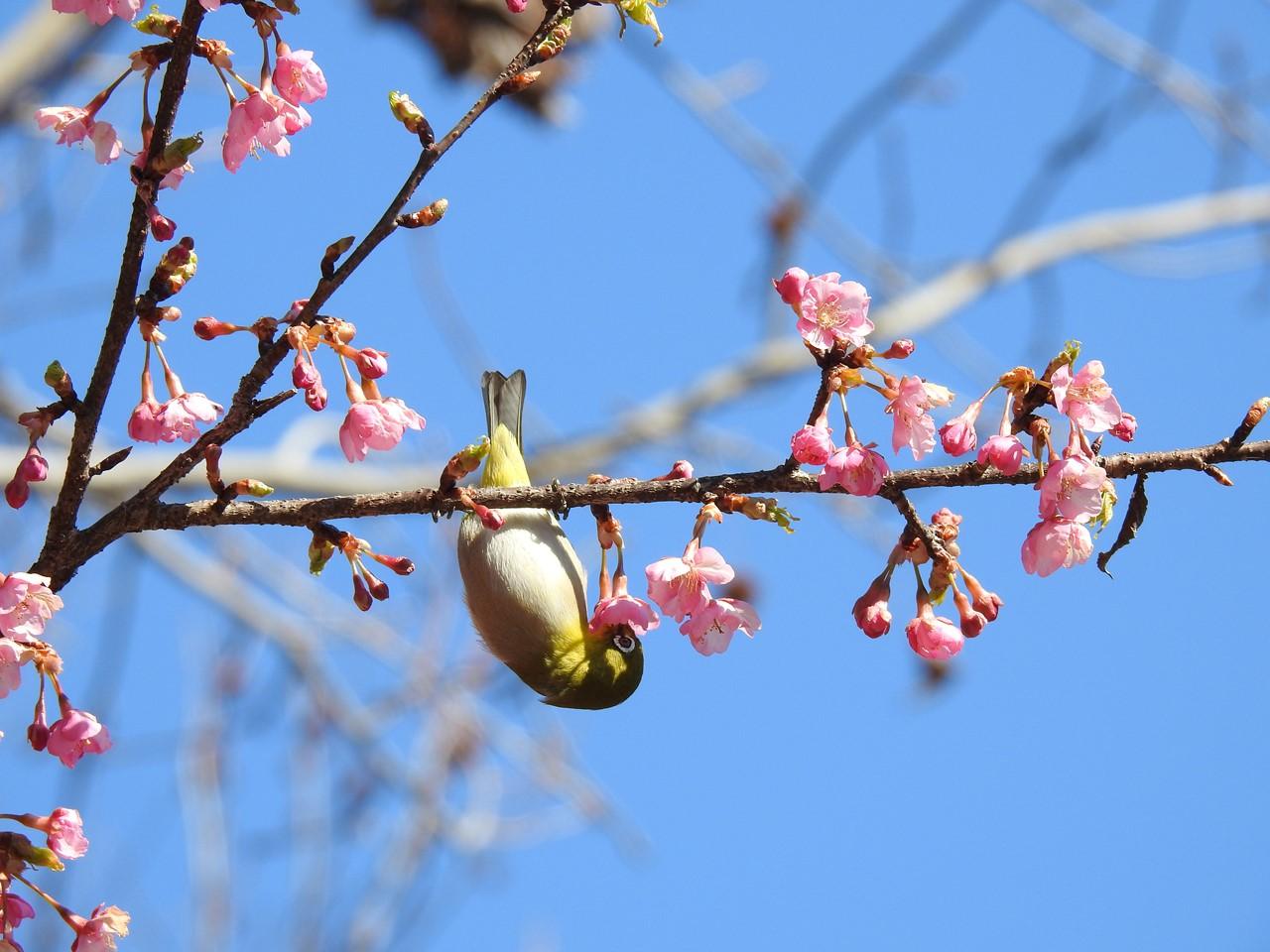 『再び河津桜とメジロを・・・・・』_d0054276_2014257.jpg