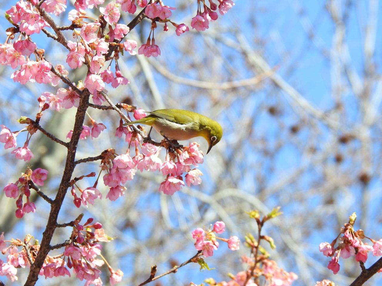 『再び河津桜とメジロを・・・・・』_d0054276_2015430.jpg