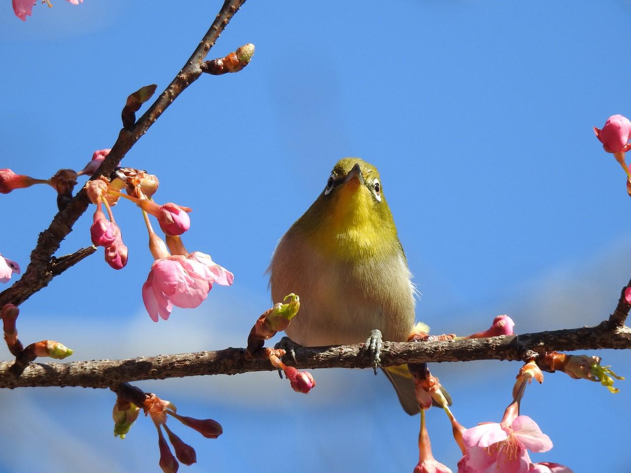 『再び河津桜とメジロを・・・・・』_d0054276_202681.jpg