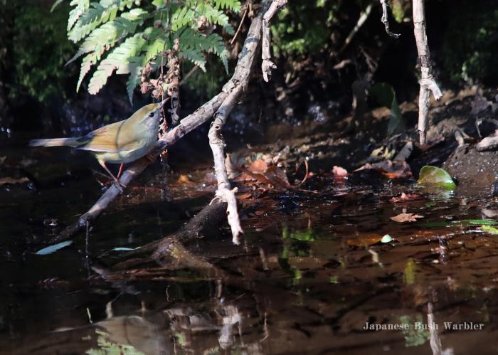 ウグイス:Japanese Bush Warbler_b0249597_06183861.jpg