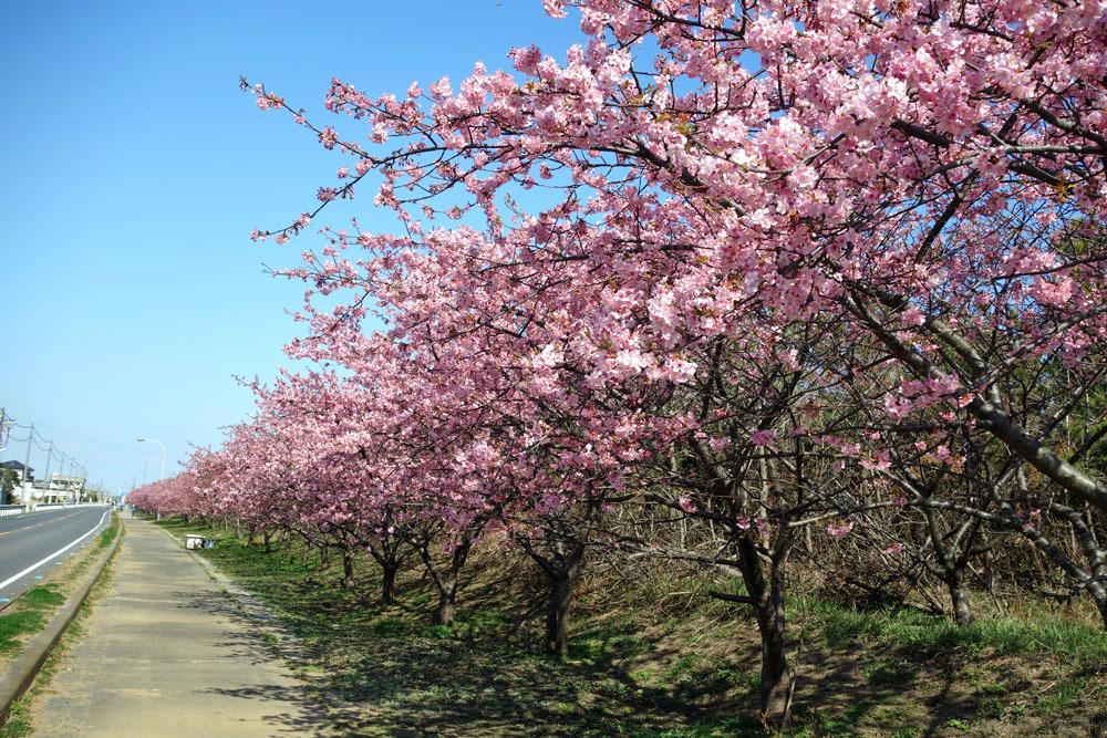 白子町のしらこ桜(河津桜)満開_b0114798_17204736.jpg