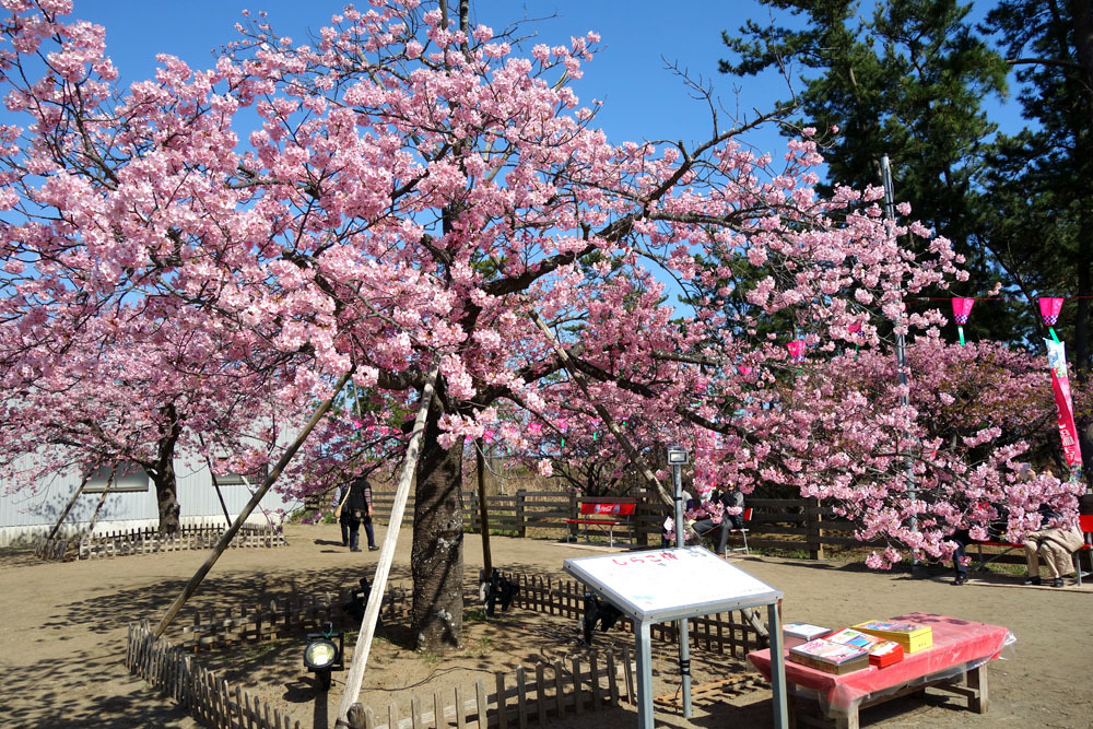 白子町のしらこ桜(河津桜)満開_b0114798_17205921.jpg