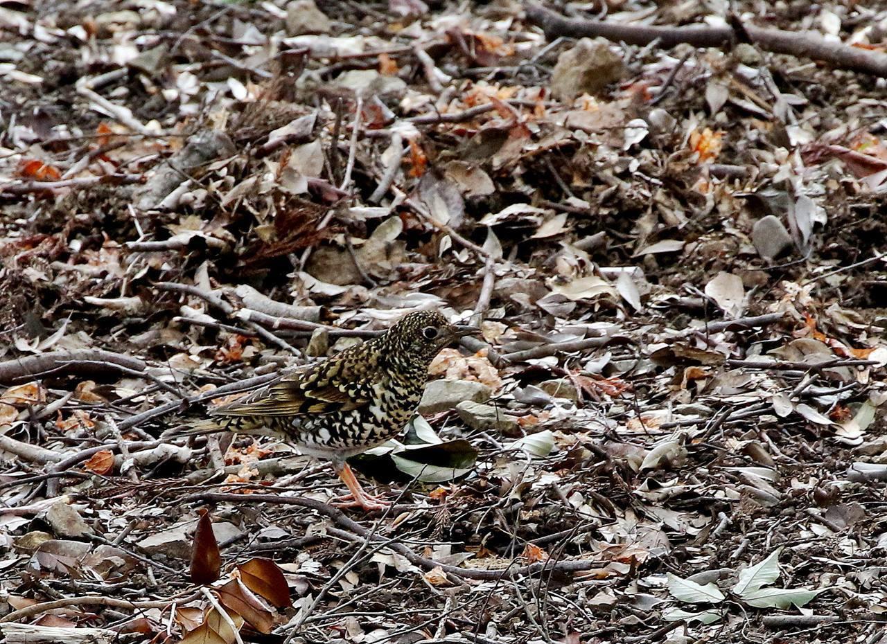 山間で出会った野鳥たちを・・・_c0213607_23034369.jpg