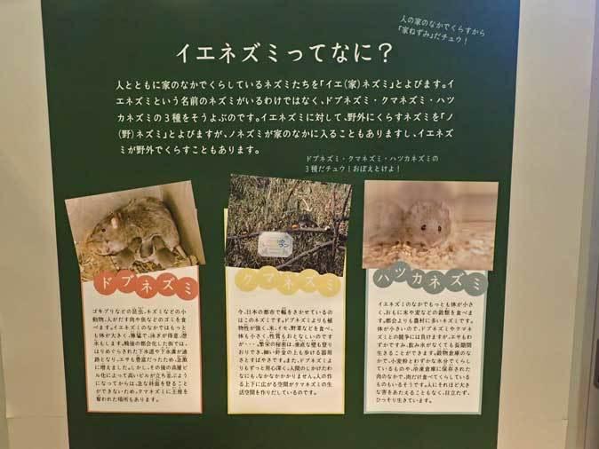 多摩動物公園・2020干支企画展「ちゅうげっ歯類展」その3~ノネズミとイエネズミ_b0355317_21503409.jpg