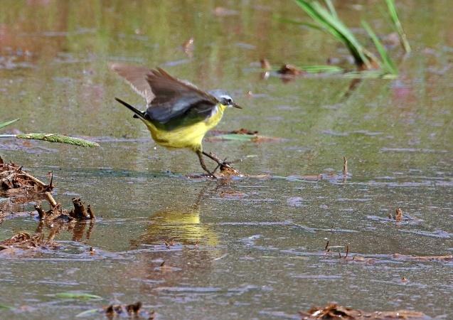マミジロツメナガセキレイの成鳥夏羽は、頭頂から後頸、頬が青灰色で眉斑と喉が白い_b0346933_15101150.jpg