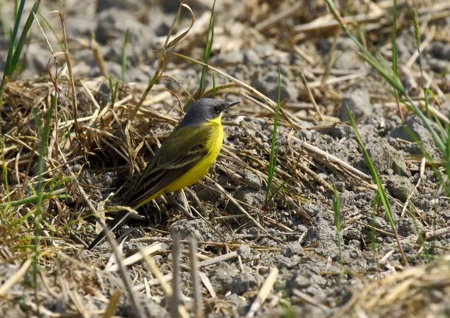 シベリアツメナガセキレイの成鳥夏羽は頭頂から後頸、頬が灰黒色で、白い眉斑は細い_b0346933_15200113.jpg