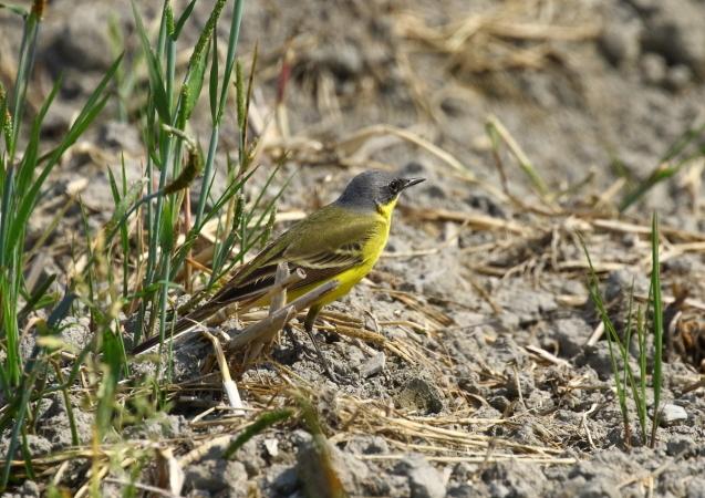 シベリアツメナガセキレイの成鳥夏羽は頭頂から後頸、頬が灰黒色で、白い眉斑は細い_b0346933_15200418.jpg