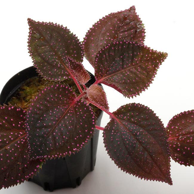 New arrival plants | 新掲載植物 ソネリラ、ディオスコレア、ブレクナムなどなど_d0376039_18455580.jpg