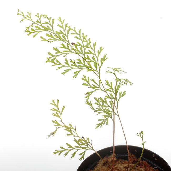 New arrival plants | 新掲載植物 ソネリラ、ディオスコレア、ブレクナムなどなど_d0376039_19030277.jpg