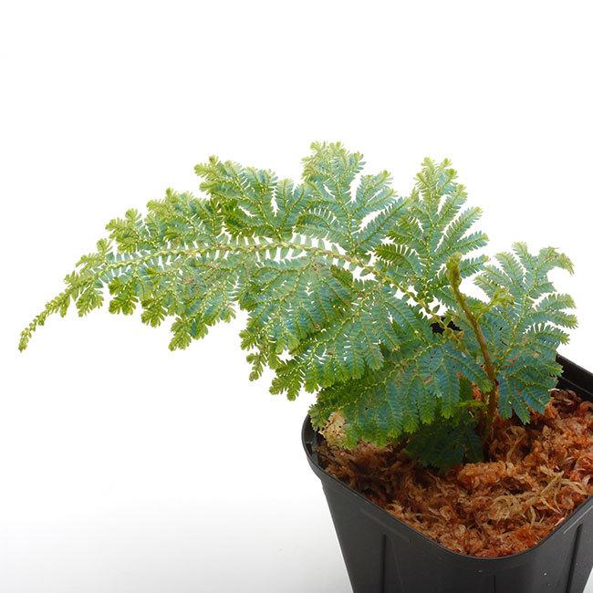 New arrival plants | 新掲載植物 ソネリラ、ディオスコレア、ブレクナムなどなど_d0376039_19155191.jpg