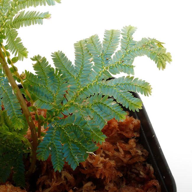 New arrival plants | 新掲載植物 ソネリラ、ディオスコレア、ブレクナムなどなど_d0376039_19170222.jpg