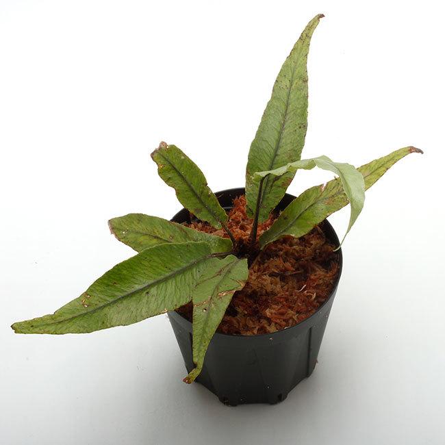 New arrival plants | 新掲載植物 ソネリラ、ディオスコレア、ブレクナムなどなど_d0376039_19282306.jpg