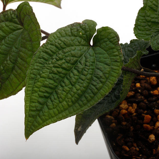 New arrival plants | 新掲載植物 ソネリラ、ディオスコレア、ブレクナムなどなど_d0376039_19335289.jpg