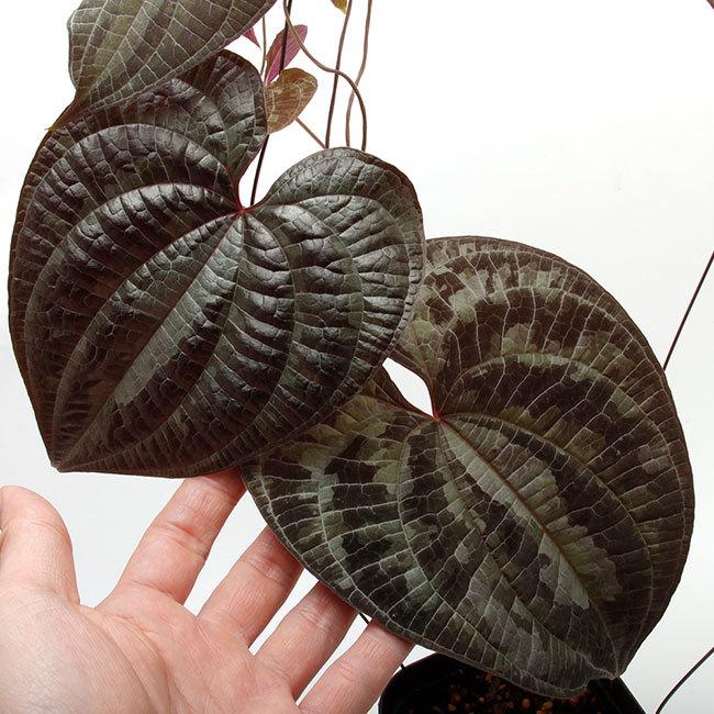 New arrival plants | 新掲載植物 ソネリラ、ディオスコレア、ブレクナムなどなど_d0376039_19414277.jpg