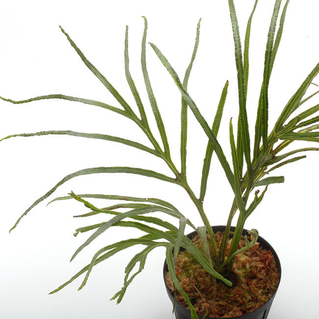 New arrival plants | 新掲載植物 ソネリラ、ディオスコレア、ブレクナムなどなど_d0376039_23265906.jpg