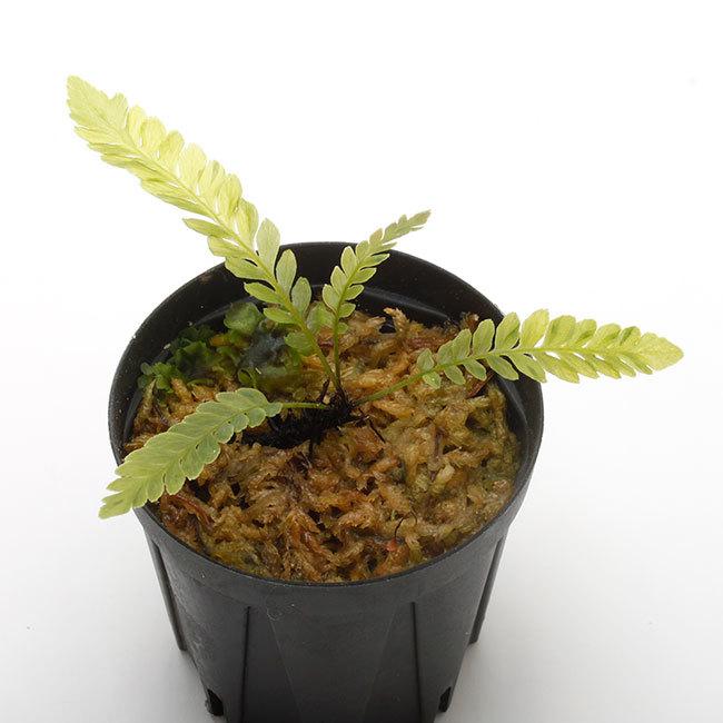 New arrival plants | 新掲載植物 ソネリラ、ディオスコレア、ブレクナムなどなど_d0376039_23410717.jpg