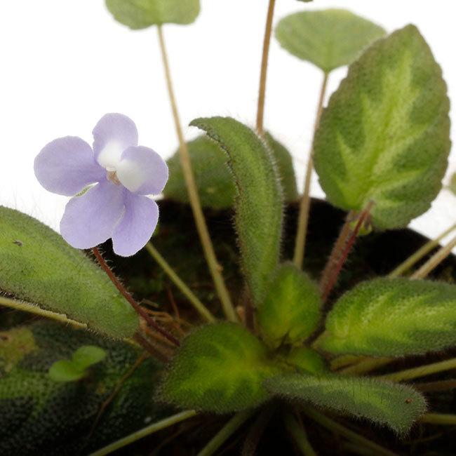 New arrival plants | 新掲載植物 ソネリラ、ディオスコレア、ブレクナムなどなど_d0376039_23460966.jpg