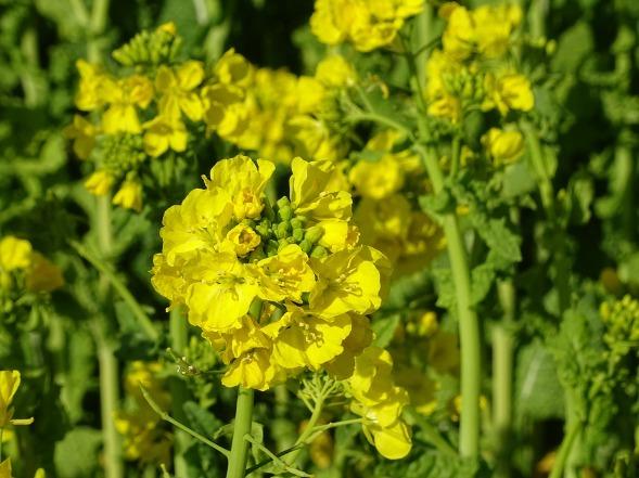 和泉リサイクル環境公園の菜の花_b0299042_20214936.jpg
