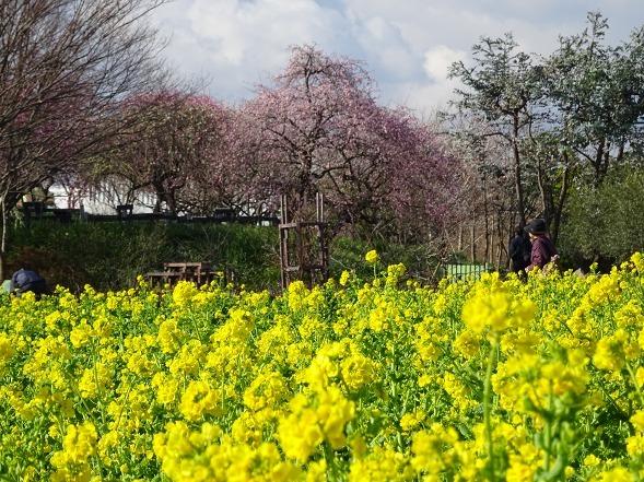 和泉リサイクル環境公園の菜の花_b0299042_20220161.jpg