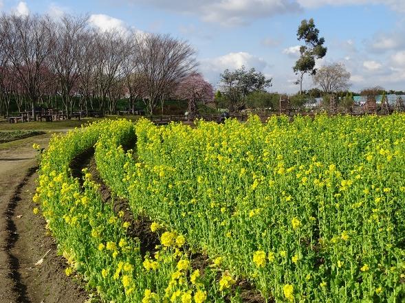 和泉リサイクル環境公園の菜の花_b0299042_20220648.jpg