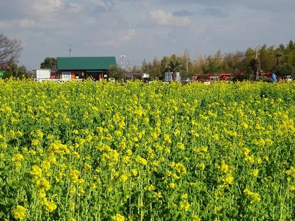 和泉リサイクル環境公園の菜の花_b0299042_20221873.jpg
