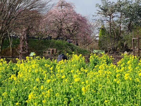 和泉リサイクル環境公園の菜の花_b0299042_20223073.jpg
