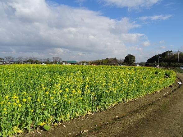 和泉リサイクル環境公園の菜の花_b0299042_20224966.jpg