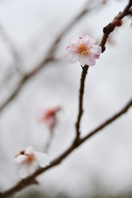 桜咲く_b0314043_09201807.jpg