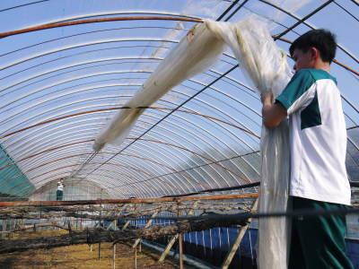 熊本ぶどう 社方園 ハウスの内張り作業を熊本農業高校からの農業実習と共に行っています(2020)後編_a0254656_15130992.jpg