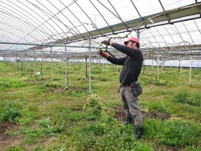 熊本ぶどう 社方園 ハウスの内張り作業を熊本農業高校からの農業実習と共に行っています(2020)後編_a0254656_15345081.jpg