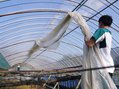 熊本ぶどう 社方園 ハウスの内張り作業を熊本農業高校からの農業実習と共に行っています(2020)後編_a0254656_16445512.jpg