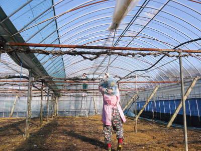 熊本ぶどう 社方園 ハウスの内張り作業を熊本農業高校からの農業実習と共に行っています(2020)後編_a0254656_16462808.jpg