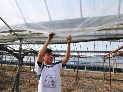 熊本ぶどう 社方園 ハウスの内張り作業を熊本農業高校からの農業実習と共に行っています(2020)後編_a0254656_16494966.jpg