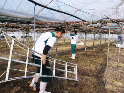 熊本ぶどう 社方園 ハウスの内張り作業を熊本農業高校からの農業実習と共に行っています(2020)後編_a0254656_17150451.jpg